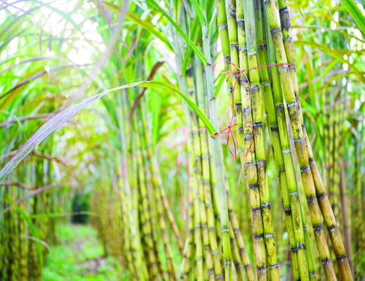 fresh sugarcane in garden